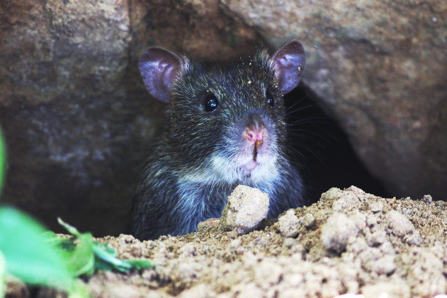 Rats - Pestox Pest Control in Berkshire & Oxfordshire